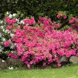 cultivar azalea